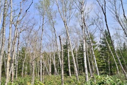 キシリトールは白樺の木の成分を利用した人工甘味料